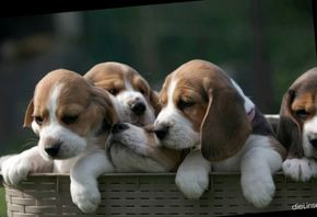 2017_01/Beagles 009bb.jpg